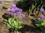 Kugel-Primel 'Grandiflora', Primula denticulata 'Grandiflora', Topfware