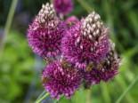 Kugelkopfiger Lauch, Allium sphaerocephalon, Topfware