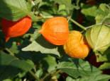 Lampionblume, Physalis alkekengi var. franchetii, Topfware