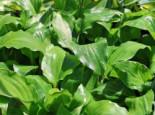 Lanzen-Funkie 'Red October', Hosta lancifolia 'Red October', Topfware