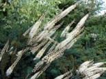 Lanzen Silberkerze, Cimicifuga racemosa var. cordifolia, Topfware