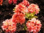 Laubabwerfende Azalee 'Arista', 40-50 cm, Rhododendron luteum 'Arista', Containerware