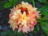 Laubabwerfende Azalee 'Cannon's Double', 40-50 cm, Rhododendron luteum 'Cannon's Double', Containerware