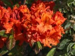 Laubabwerfende Azalee 'Gibraltar', 40-50 cm, Rhododendron luteum 'Gibraltar', Containerware