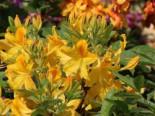 Laubabwerfende Azalee 'Goldtopas', Stamm 60 cm, Rhododendron luteum 'Goldtopas', Stämmchen