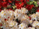 Laubabwerfende Azalee 'Schneegold', 60-70 cm, Rhododendron luteum 'Schneegold', Containerware