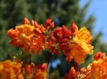 Laubabwerfende Azalee 'Sunte Nectarine', 40-50 cm, Rhododendron luteum 'Sunte Nectarine', Containerware