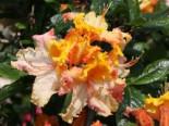 Laubabwerfende Azalee 'Washington State Centennial', 30-40 cm, Rhododendron luteum 'Washington State Centennial', Containerware
