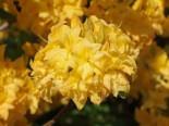 Laubabwerfende Azalee / Gelbe Azalee 'Yellow Pom Pom', 30-40 cm, Rhododendron luteum 'Yellow Pom Pom', Containerware