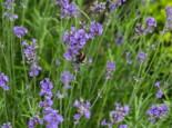 Lavendel 'Blue Scent Early', Lavandula angustifolia 'Blue Scent Early', Topfware