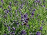 Lavendel 'Bowles Variety', Lavandula x intermedia 'Bowles Variety', Topfware