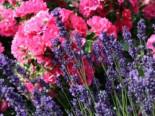 Lavendel 'Early Hidcote', Lavandula angustifolia 'Early Hidcote', Topfware