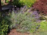 Lavendel 'Imperial Gem', Lavandula angustifolia 'Imperial Gem', Topfware