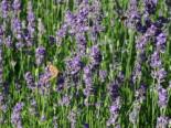 Lavendel 'Munstead', Lavandula angustifolia 'Munstead', Topfware