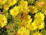 Lesotho Mittagsblume, Delosperma nubigenum, Topfware