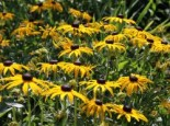 Leuchtender Sonnenhut 'Goldsturm', Rudbeckia fulgida var. sullivantii 'Goldsturm', Topfware