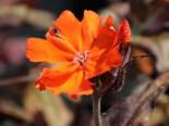 Lichtnelke 'Orange Zwerg', Lychnis x arkwrightii 'Orange Zwerg', Topfware