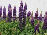 Lupine 'Camelot Blue' ®, Lupinus polyphyllus 'Camelot Blue' ®, Topfware