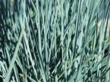 Magellan-Gras / Magellan-Weizengras / Blaugras, Agropyron magellanicum / Elymus magellanicus, Topfware