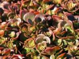 Mauerpfeffer 'Coral Reef', Sedum tetractinum 'Coral Reef', Topfware