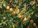 Mirabellen-Aprikose 'Aprimira', Stamm 40-60 cm, 120-160 cm, Prunus 'Aprimira', Containerware