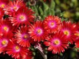 Mittagsblume 'Jewel of Desert Garnet', Delosperma cooperi 'Jewel of Desert Garnet', Topfware