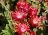 Mittagsblume 'Red Mountain', Delosperma dyeri 'Red Mountain', Topfware