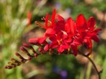 Montbretie 'Red King', Crocosmia x crocosmiiflora 'Red King', Topfware