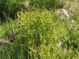 Morgenstern Segge, Carex grayi, Topfware