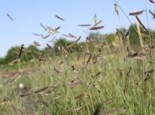Moskitogras, Bouteloua gracilis, Topfware