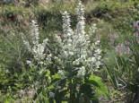 Muskateller Salbei 'Vatican White', Salvia sclarea var. turkestanica 'Vatican White', Topfware