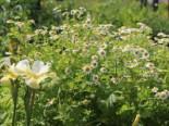 Mutterkraut, Tanacetum parthenium, Topfware