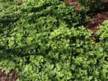 Nelkenwurzähnliche Waldsteinie / Gelapptblättrige Waldsteinie, Waldsteinia geoides, Topfware