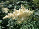 Fiederspiere, 60-100 cm, Sorbaria sorbifolia, Wurzelware