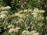 Niedriger Weißbunter Etagen-Hartriegel 'Argentea', 40-60 cm, Cornus alternifolia 'Argentea', Containerware
