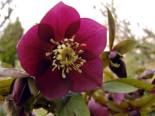 Orientalischer Nieswurz / Christrose 'Pretty Ellen Red', Helleborus x orientalis 'Pretty Ellen Red', Topfware