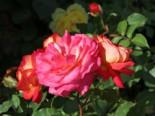 Nostalgie®-Beetrose 'Midsummer' ®, Rosa 'Midsummer' ®, Wurzelware