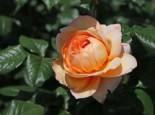 Nostalgie®-Edelrose 'Capri' ®, Rosa 'Capri' ®, Wurzelware
