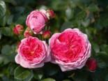 Nostalgie®-Edelrose 'Modern Art' ®, Rosa 'Modern Art' ®, Wurzelware