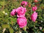 Nostalgie®-Edelrose 'Romina' ®, Rosa 'Romina' ® ADR-Rose, Wurzelware