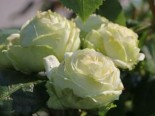 Nostalgie®-Edelrose 'Wedding Piano' ®, Rosa 'Wedding Piano' ®, Containerware