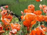 Papaver orientale 'Harvest Moon'