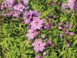 Pacific-Rittersporn 'Astolat', Delphinium x cultorum Pacific 'Astolat', Topfware