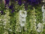 Pacific-Rittersporn 'Galahad', Delphinium x cultorum Pacific 'Galahad', Topfware