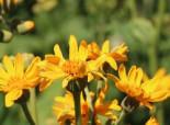 Palmblatt-Goldkolben, Ligularia x palmatiloba, Topfware