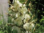 Palmlilie 'Bright Edge', Yucca filamentosa 'Bright Edge', Containerware