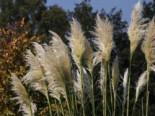 Pampasgras 'Sunningdale Silver', Cortaderia selloana 'Sunningdale Silver', Topfware