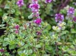 Panaschierter Thymian 'Foxley', Thymus pulegioides 'Foxley', Topfware