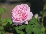Parkrose 'Fantin Latour', Rosa 'Fantin Latour', Wurzelware