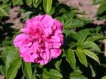 Parkrose 'Hansa', Rosa rugosa 'Hansa', Wurzelware
